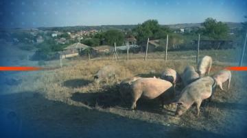 Полиция, армия и жандармерия се включват в борбата с чумата по свинете