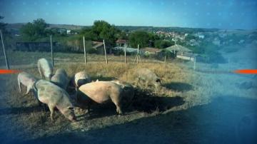 Смениха терена за загробване на животни от свинекомплекса в Русенско