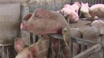 Отрицателни са пробите за чума в свинекомплекса в Юделник