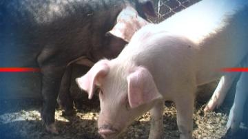ЕК праща експерти у нас заради чумата по прасетата