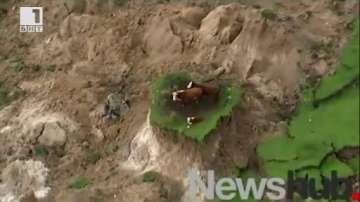 Три крави са блокирани на островче след земетресението в Нова Зеландия (ВИДЕО)