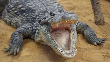 Индонезийци убиха близо 300 крокодила заради смъртта на човек