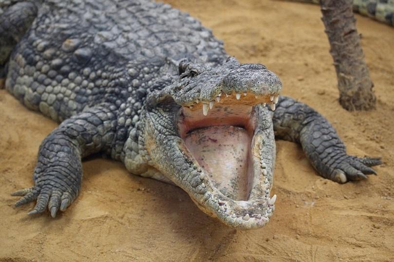 индонезийци убиха близо 300 крокодила заради смъртта човек