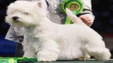 Шотландки териер надви 22 000 кучета в изложението Кръфтс