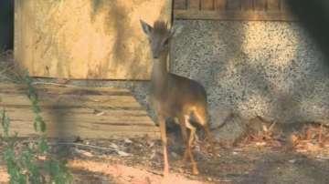 Aнтилопата Дик-дик e най-новото попълнение на Столичния зоопарк