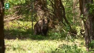Опасна болест застрашава свинете в България