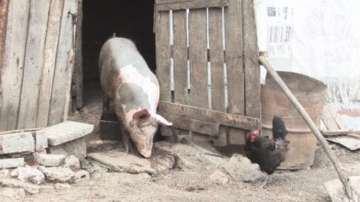 Първи случай на чума по свинете в България, регистрира БАБХ