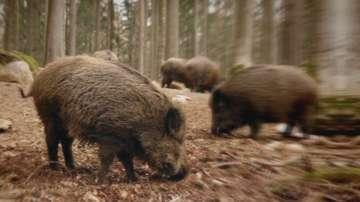 Огнище на Африканска чума по свинете около добричко село