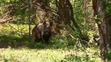 Избиват дивите прасета в ловно стопанство Зеленка заради чумата