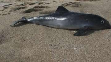 Над 90 мъртви делфина са открити по българските плажове
