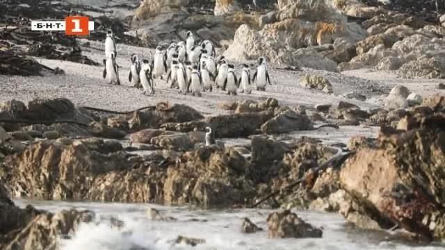 Снимка: ДРУГИТЕ новини: Спасяват изоставени пингвинчета