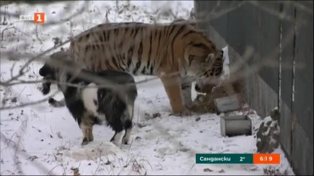 През 2015 г. тигърът Амур и козелът Тимур станаха приятели,