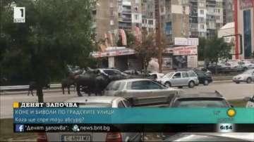 Безпризорни биволи по улицата шашнаха столичани