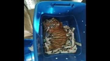 Мексиканските власти засякоха опит да се изпрати живо тигърче по пощата