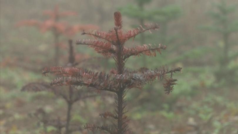 Глобалното затопляне се отразява и на производството на коледни елхи.