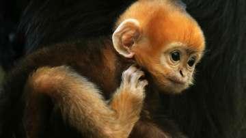В зоологическа градина в Австралия се роди една от най-редките маймуни в света