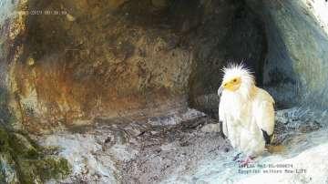 Нова камера предава директно от  гнездото на египетски лешояди