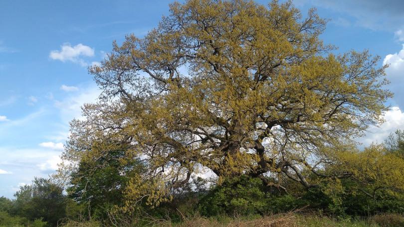 снимка 1 Европейско дърво на годината: 300-годишен дъб е представителят ни в конкурса