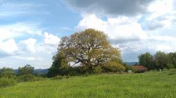 Европейско дърво на годината: 300-годишен дъб е представителят ни в конкурса