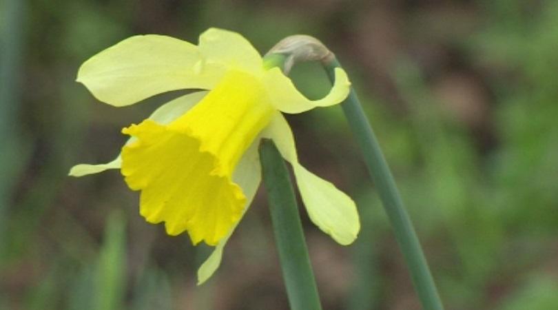 снимка 1 В Югозападна Шотландия цъфнаха пролетни цветя