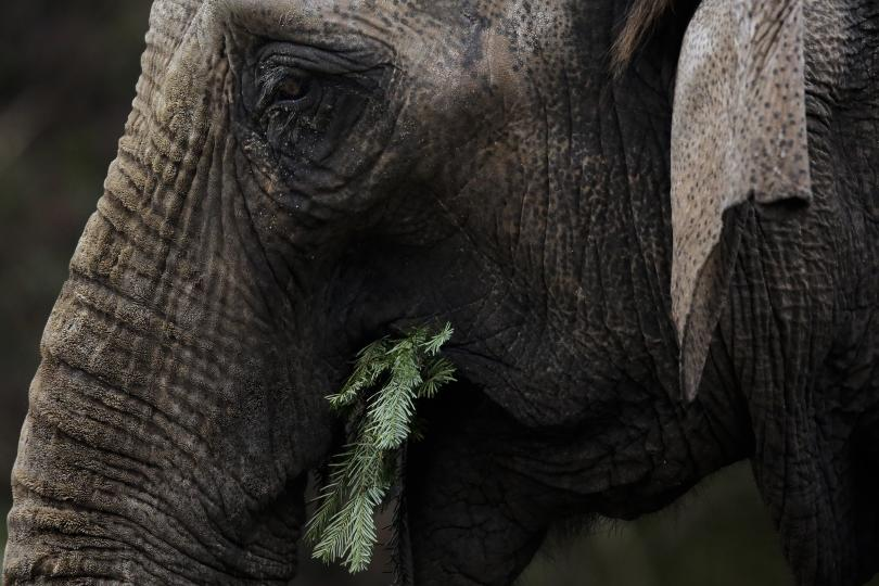 снимка 1 Слоновете в берлинска зоологическа градина похапнаха коледни елхи