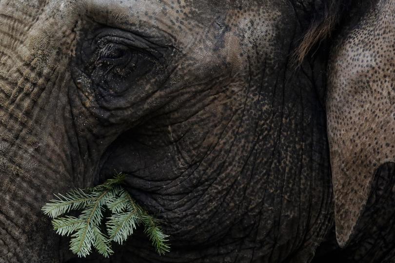 снимка 2 Слоновете в берлинска зоологическа градина похапнаха коледни елхи