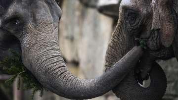 Слоновете в берлинска зоологическа градина похапнаха коледни елхи