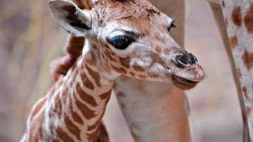 Във Валенсия се роди рядък подвид жираф