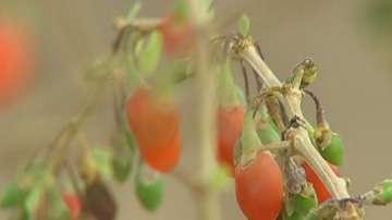 Нов за страната ни вредител унищожава био фермите за годжи бери