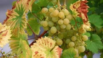 Ще се отрази ли слабата реколта на цените на гроздето