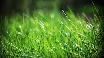 Зелена светлина: Трева, която лекува почвата