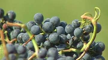 По-качествена реколта от грозде