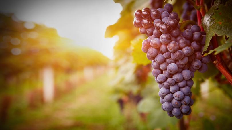 Дъждовното лято съсипа реколтата от грозде в Пазарджишко и на