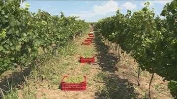 По-слаба реколта от винените сортове очакват русенски лозари