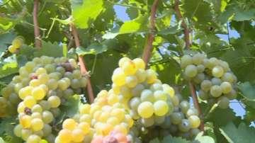 Рекордни количества грозде във Варненска област