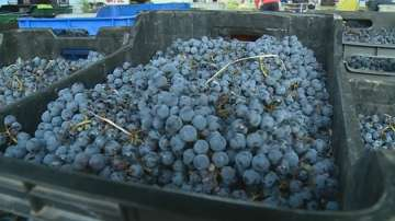 Добра реколта на грозде в Благоевградско