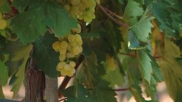 Започна гроздоберът в Южна България