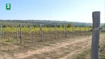 По-ниски добиви от грозде в Бургаския регион