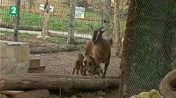 Търсят осиновители на малките камерунски кози във варненския зоопарк