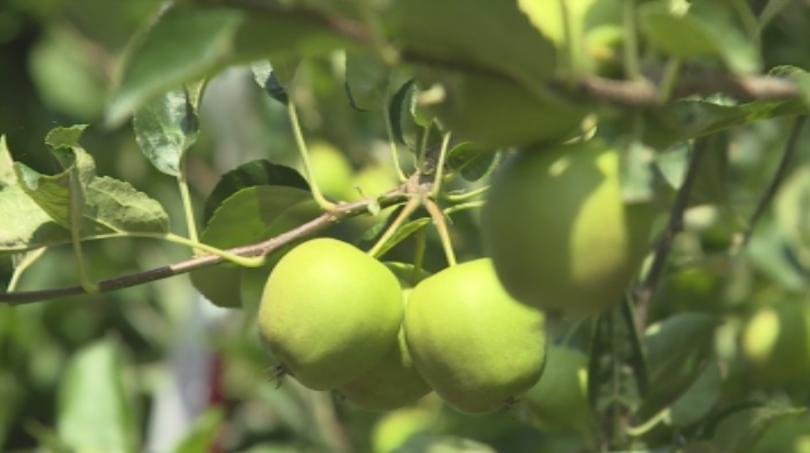 Ябълка за 100 хиляди евро расте в овощна градина в