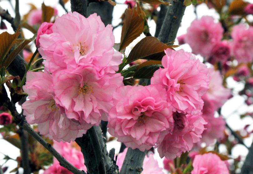 Цветовете на японската вишна известни с пленителна красота и великолепие