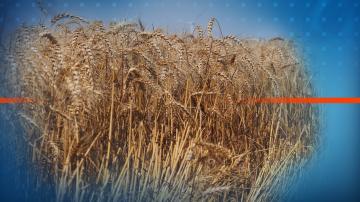 Есенната сеитба на пшеницата в Русенско закъснява