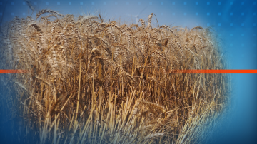 Двойно по-ниски добиви на пшеница в Русенско заради дъждовете