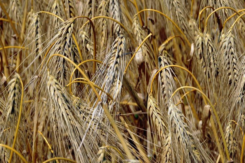 Ниски добиви и влошено качество на хлебното зърно. Такъв е