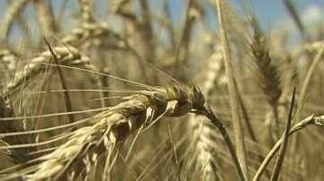 В Добрич очакват по-ниски добиви от пшеница спрямо миналата година