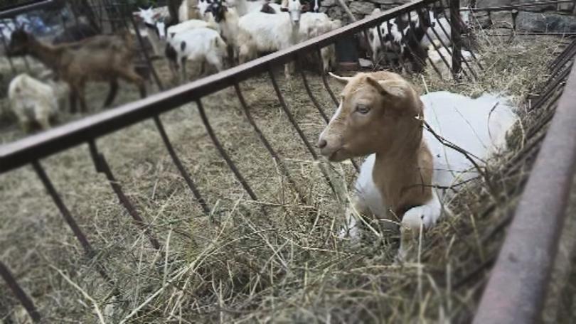 Обезщетенията за първите умъртвени животни през юни заради заболяването чума