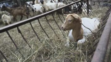 Животновъди получиха обезщетения и останаха недоволни от държавната помощ