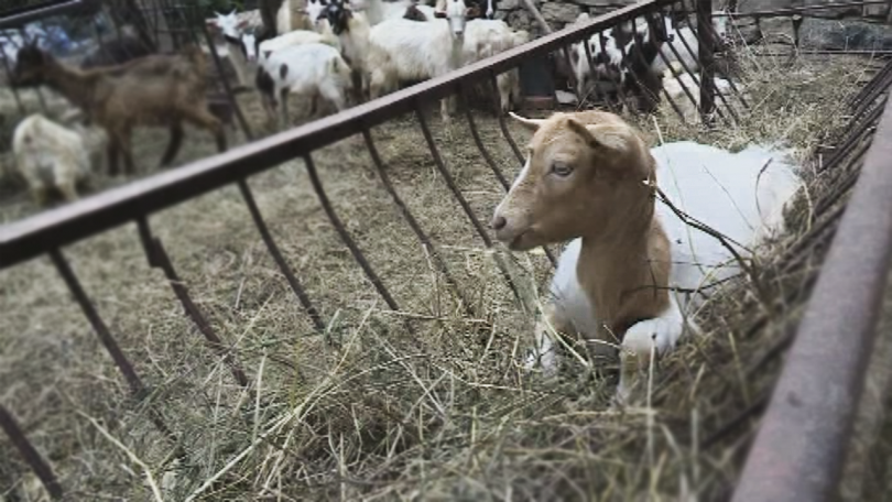 Недоволството е продиктувано от недостатъчното финансиране на сектор животновъдство и