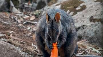 Доставиха няколко тона зеленчуци на кенгурата в Австралия