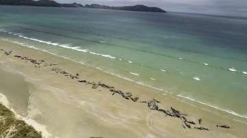 Масова смърт на белуги край Нова Зеландия